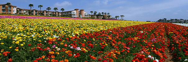 Flower fields in Carlsbad. New homes in Carlsbad, new construction homes for sale in Carlsbad and San Diego